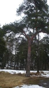 Metsä kuva Puussa oli havuneulasia ja puun alla oli lunta. Valitsimme tämän puun siksi koska se paikka oli keväinen. Puussa oli hieno keppi. Aurinko paistoi kauniisti. Keppi roikkui kivasti. Oksia oli vähän puussa. Taivas pilkisti puiden takaa. Puun vieressä oli kanto ja takana oli paljon puita. LOPPU!